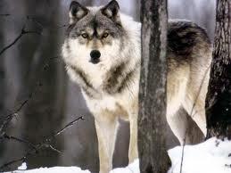 vuk u šumi
